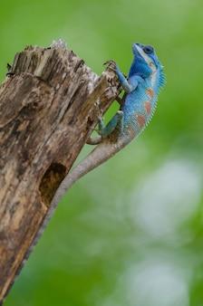 Blauwe kuifhagedis in tropisch bos, thailand