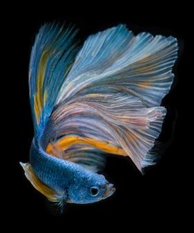 Blauwe lange betta-vissen met halve maan.