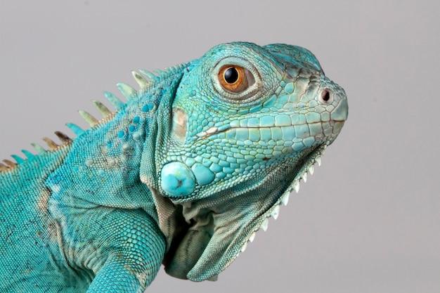 Blauwe leguaanclose-up op tak met grijs