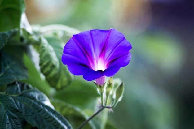Blauwe levendige bloem van granaatappel op een onscherpe achtergrond
