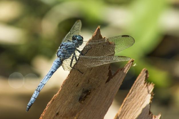 Blauwe libel op hout close-up