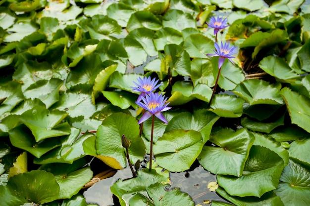 Blauwe lotus in de vijver