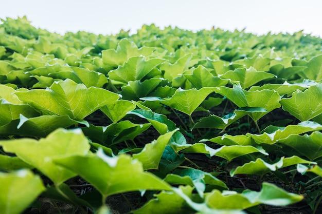 Blauwe lucht en de achtergrond van grote groene bladeren met kopie ruimte.