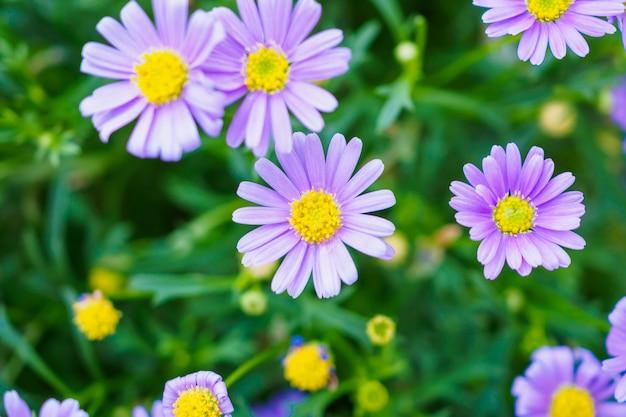 Blauwe madeliefjebloemen
