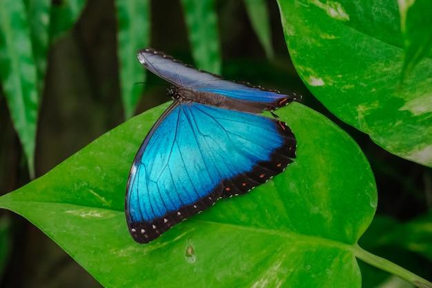 Blauwe morpho peleides-vlinder op een blad