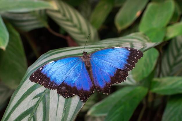 Blauwe morpho peleides vlinder