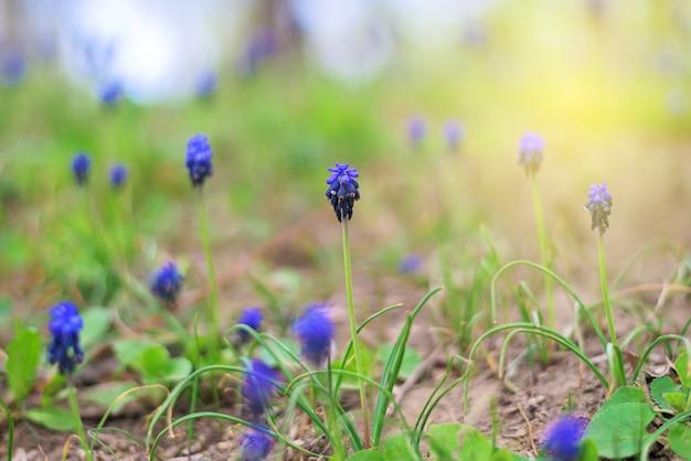 Blauwe muscari-bloemen