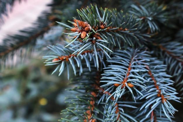 Blauwe nette tak dichte omhooggaand. altijdgroene boom bedekt met sneeuw in de winter. sierlijke scherpe naalden van blauwe spar