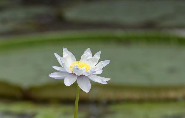 Blauwe, paarse lotusbloesems of waterleliebloemen die op vijver bloeien