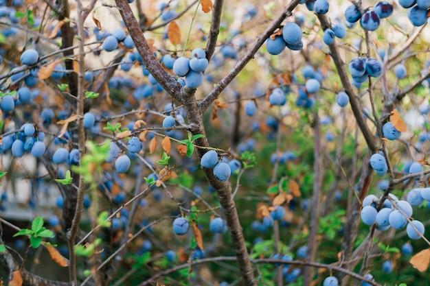 Blauwe rijpe pruimen op de boomclose-up.
