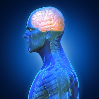 Blauwe schaduw anatomie mens x ray bones heart lung brain lever
