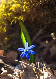 Blauwe scilla siberica vroege lentebloemen