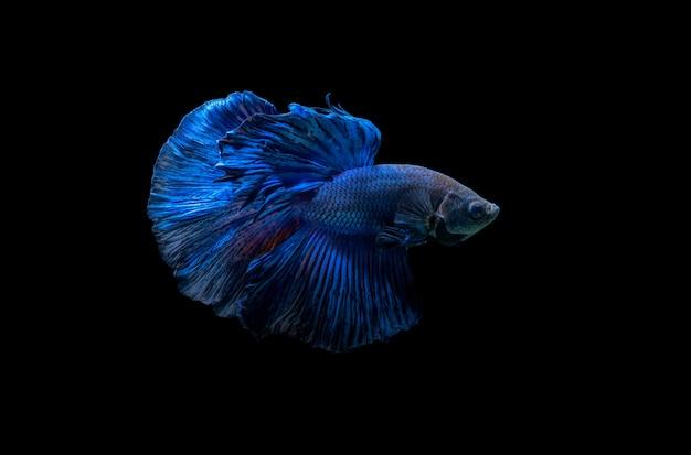 Blauwe siamese vechten vis, betta splendens