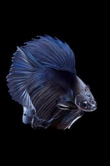 Blauwe siamese vechten vis op zwarte achtergrond