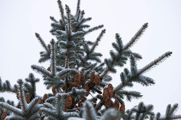 Blauwe spar met kegels, picea pungens, takken bedekt met sneeuw.