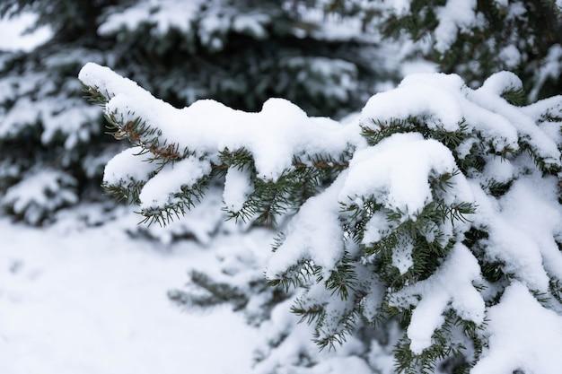 Blauwe spar, picea pungens, takken bedekt met sneeuw.