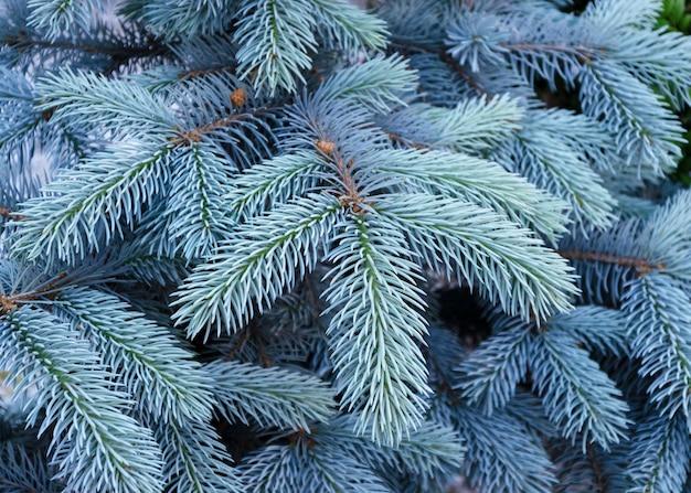 Blauwe sparrenboom met blauwe naalden