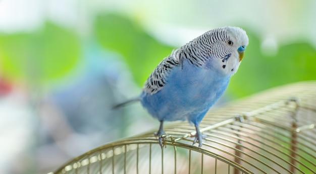 Blauwe tevreden golvende papegaai zittend op een kooi, close-up.