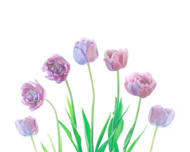 Blauwe tulpenreeks die op een wit wordt geïsoleerd.