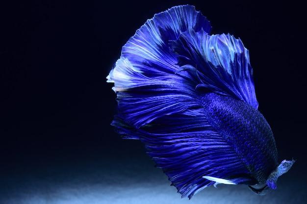 Blauwe vechtvis.