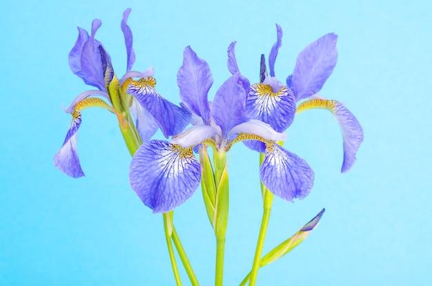 Blauwe verse tuin irissen op heldere papier oppervlak