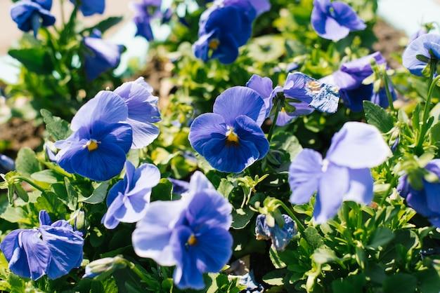 Blauwe viooltjesbloemen bloeien op een bloembed in de tuin in de zomer op een zonnige dag. selectieve aandacht