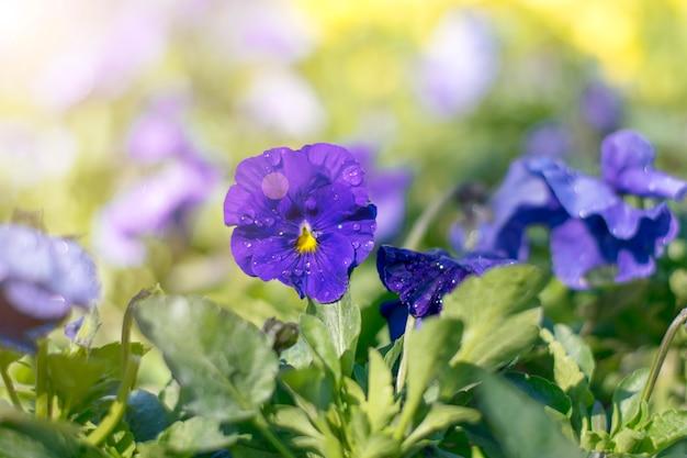Blauwe viooltjesbloemen in zonlicht en dauw