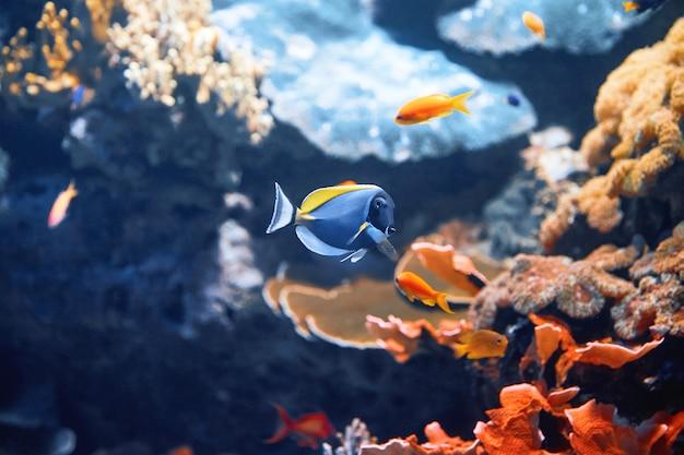 Blauwe vis met stenen