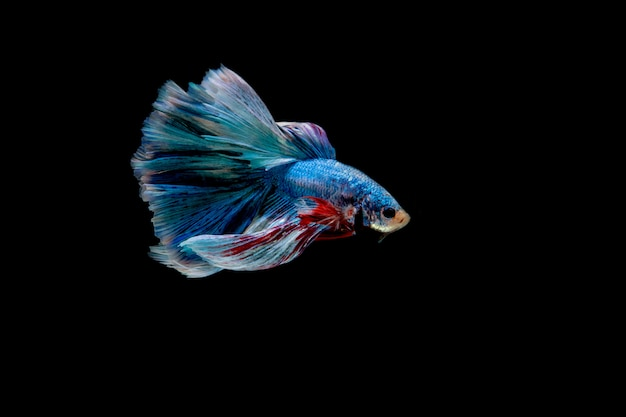 ิ blauwe vis. veelkleurige vechtvis