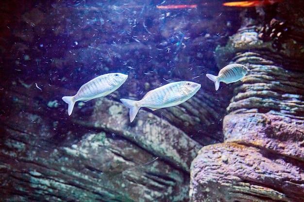 Blauwe vissen met stenen