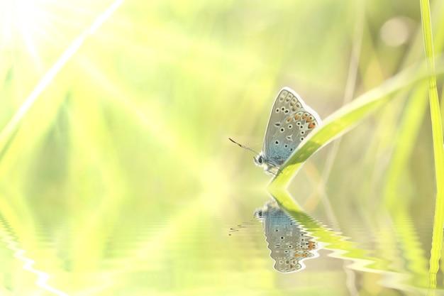 Blauwe vlinder in de wei bij zonsopgang