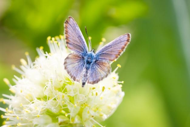 Blauwe vlinder, op een bloem, lente-insect