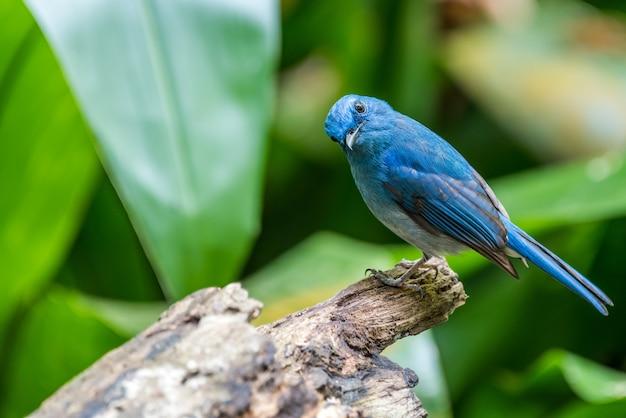 Blauwe vogel-lichtblauwe vliegenvanger (cyornis unicolor)