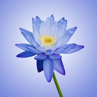 Blauwe waterlelie