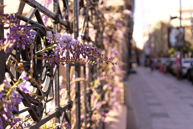 Blauweregen violet paarse bloemen op stedelijke stad straat opknoping op ijzeren hek