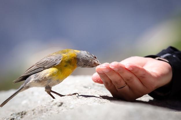 Blauwgele tangarevogel die zaden uit iemands hand eet