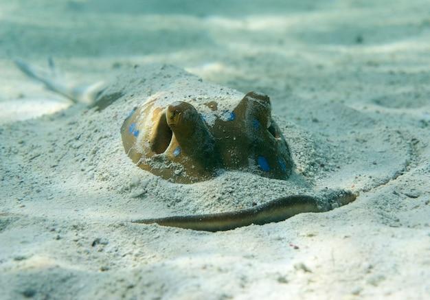 Blauwgestippelde ribbontail ray of taeniura lymma ligt op de bodem van de zee