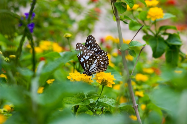 Blauwgevlekte kroontjeskruidvlinder of danainae of kroontjeskruidvlinder die zich voedt met de bloemplanten