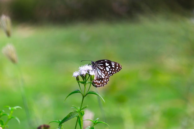 Blauwgevlekte kroontjeskruidvlinder of danainae of kroontjeskruidvlinder rustend op de planten