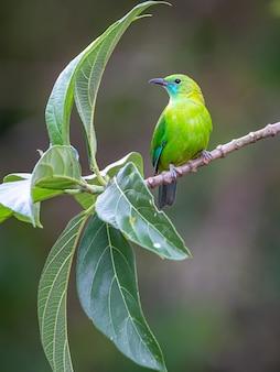 Blauwvleugelige leafbird;