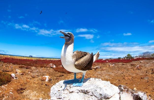 Blauwvoetgent (sula nebouxii) endemisch op de galapagos-eilanden. mariene vogel sula in tropische dierenwereld. observatie van natuurgebied. vakantie-avontuur in ecuador