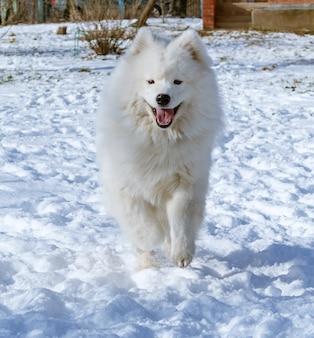 Blij onder ogen gezien samoyed hond die op sneeuw loopt