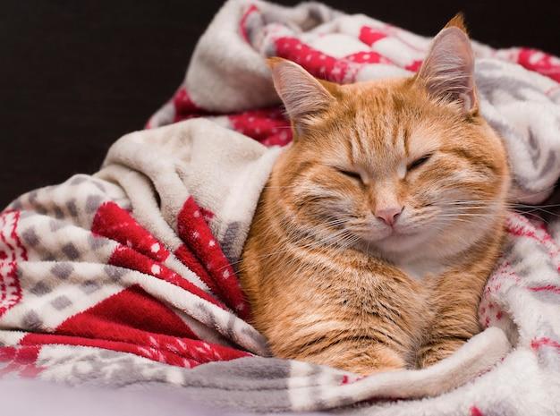 Blije gemberkat die onder de dekens slaapt