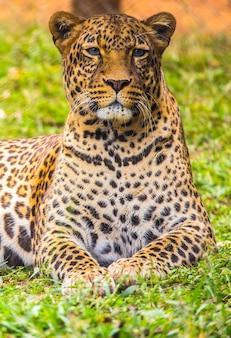 Blik op een lieftallige luipaard in het gras van het weeshuis. bezoek aan het belangrijke weeshuis in nairobi van onbeschermde of gewonde dieren. kenia