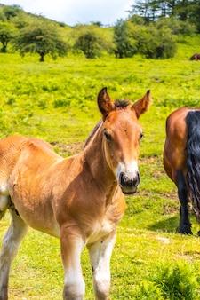 Blik van een klein paard op de klim naar de berg. mount aizkorri 1523 meter, de hoogste in guipuzcoa. baskenland. klim door san adrian en keer terug door de oltza-velden