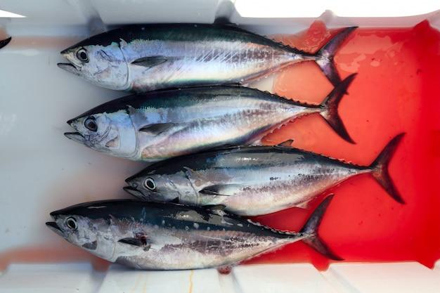 Bloedige blauwvintonijn vier tonijn vangen thunnus thynnus