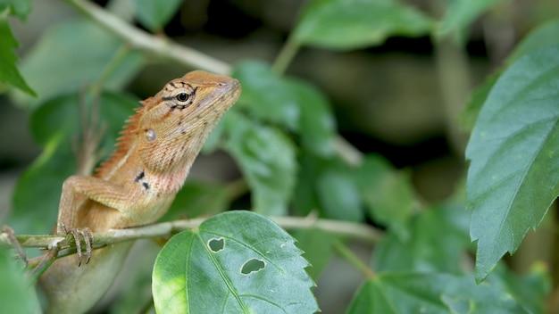 Bloedzuigerhagedis in weelderig groen gebladerte van bos. reptiel dier in tropisch jungle regenwoud.