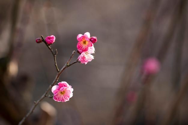 Bloei van de abrikozenboom in het voorjaar met prachtige bloemen.