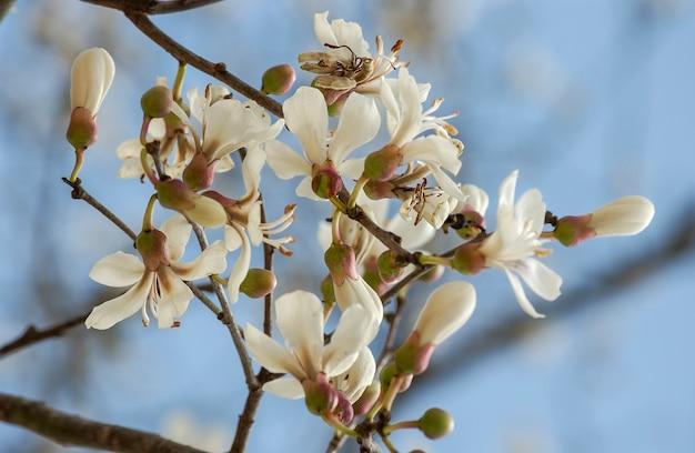 Bloei van de witte ipe in brazilië. braziliaanse boom.
