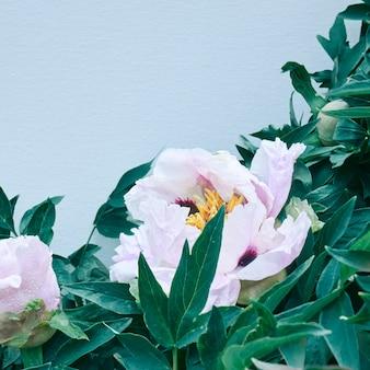 Bloei van pastel lichtroze pioenrozen op groene takken met bladeren en blauwe achtergrond. kaartconcept,